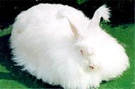 要想快致富饲养珍珠兔