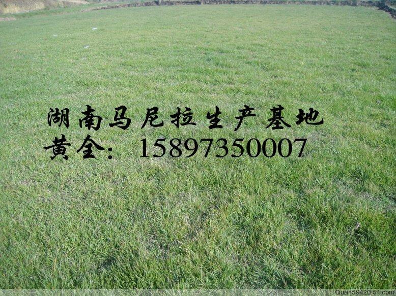 郴州马尼拉草坪