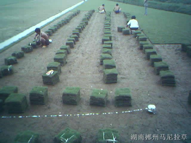 郴州马尼拉草皮供应