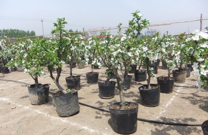盆栽苹果  果树盆景
